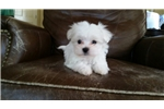 Picture of Tiny Maltese Boy