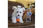 Picture of Micro Teacup Maltese Boy
