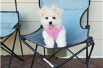 Picture of Adorable Maltese Girl