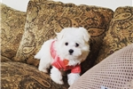 Picture of Gorgeous Maltese Girl
