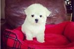 Picture of Small Maltese Boy