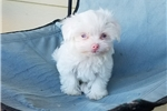 Picture of Tiny Teacup Albino Maltese Girl