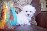 Picture of Tiny Teacup Maltese Girl