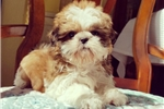 Picture of Tiny Teacup Shih Tzu Girl