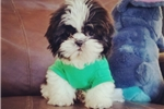 Picture of Tiny Teacup Shih Tzu Boy