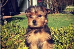 Picture of Purebred Yorkie Boy