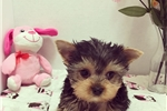 Picture of Teacup Yorkie Girl