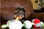 Picture of Tiny Teacup Yorkie Puppies