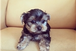 Picture of Teacup Yorkie Boy