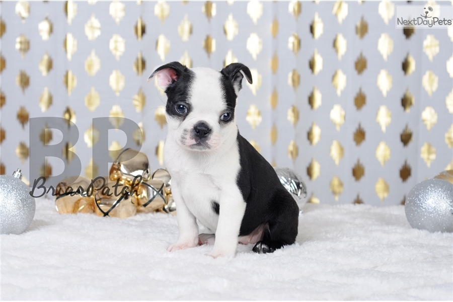 Holly Akc Black White Female Boston Terrier For Sale In