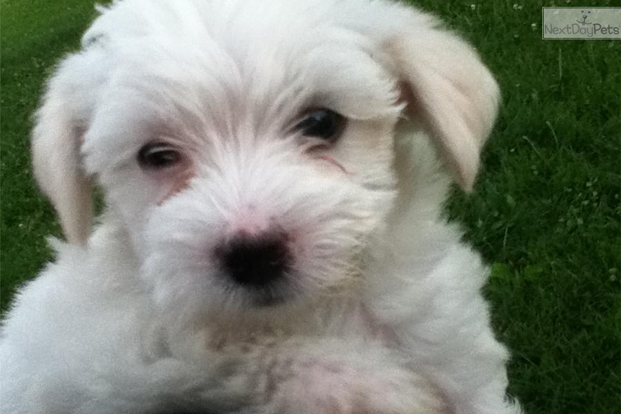 Havamalt Puppy For Sale Near Springfield Missouri D2a9f711 3a51
