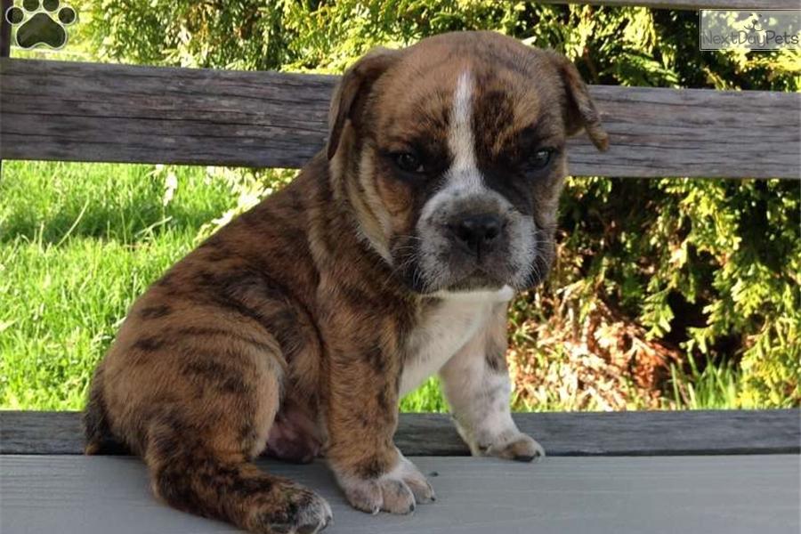 Beabull puppy for sale near Akron / Canton, Ohio | 3bc58e0b-fcd1
