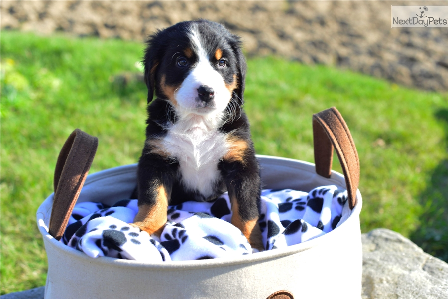 Bernese Mountain Dogs For Sale In Cleveland Ohio
