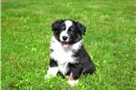 Picture of Abby / Australian Shepherd