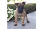 Picture of Alvin / Belgian Malinois