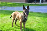 Picture of Sally / Belgian Malinois