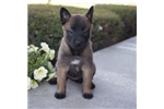 Picture of Allie / Belgian Malinois