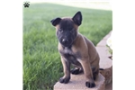 Picture of Alpha / Belgian Malinois