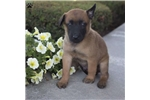 Picture of Alex / Belgian Malinois