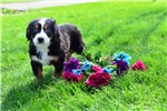 Brittany / Bernese Mountain Dog | Puppy at 11 weeks of age for sale