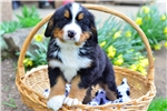 Steph / Bernese Mountain Dog | Puppy at 11 weeks of age for sale