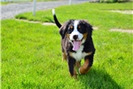 Picture of Buddy / Bernese Mountain Dog