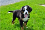 Picture of Max / Bernese Mountain Dog