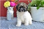 Picture of Bella / Bich-poo