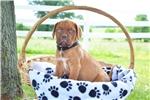 Picture of Allie / Dogue de Bordeaux/French Mastiff