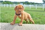 Picture of Anni / Dogue de Bordeaux/French Mastiff