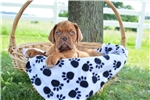 Picture of Leo / Dogue de Bordeaux/French Mastiff