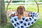 Picture of Leonard / Dogue de Bordeaux/French Mastiff