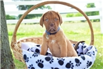 Picture of Abby / Dogue de Bordeaux/French Mastiff