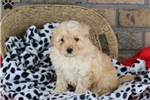 Picture of Brook / Goldendoodle Miniature
