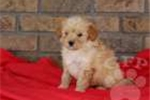 Picture of Buddy / Goldendoodle Miniature