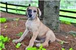 Picture of Bella / Great Dane