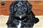 Picture of Buddy / Bernedoodle Miniature