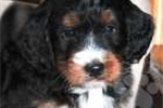 Picture of Benson / Bernedoodle Miniature