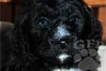 Picture of Blake / Bernedoodle Miniature