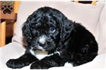 Picture of Bonnie / Bernedoodle Miniature