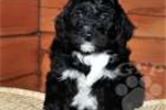 Picture of Bingo / Bernedoodle Miniature