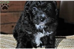 Picture of Bailey / Bernedoodle Miniature