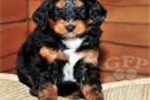 Picture of Buster / Bernedoodle Miniature