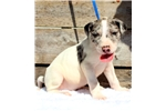 Picture of Merle Piebald MALE Great Dane Puppy for sale-Brown