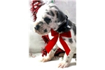 Picture of // Blue Harlequin Male Great Dane Puppy $1700 Blue