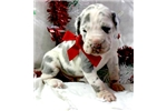 Picture of // Blue Harlequin Male Great Dane Puppy $1700 Gree