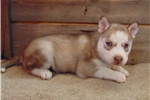 Picture of Ariel the Siberian Husky
