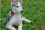 Merida the Brave | Puppy at 18 weeks of age for sale