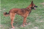 Picture of Super Litter of Belgian Malinois from Euro Lines