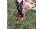 Picture of Maui the Malinois litter born 04/25/16